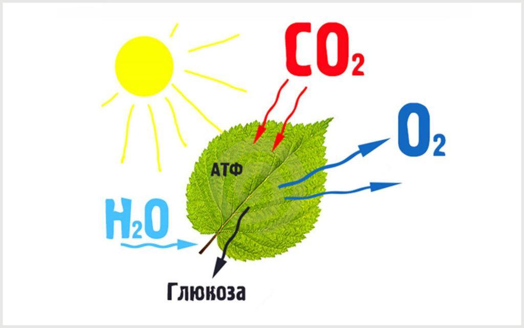Простая схема фотосинтеза растений