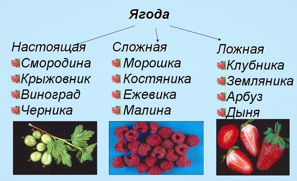 Три типа ягод: настоящие, сложные, ложные