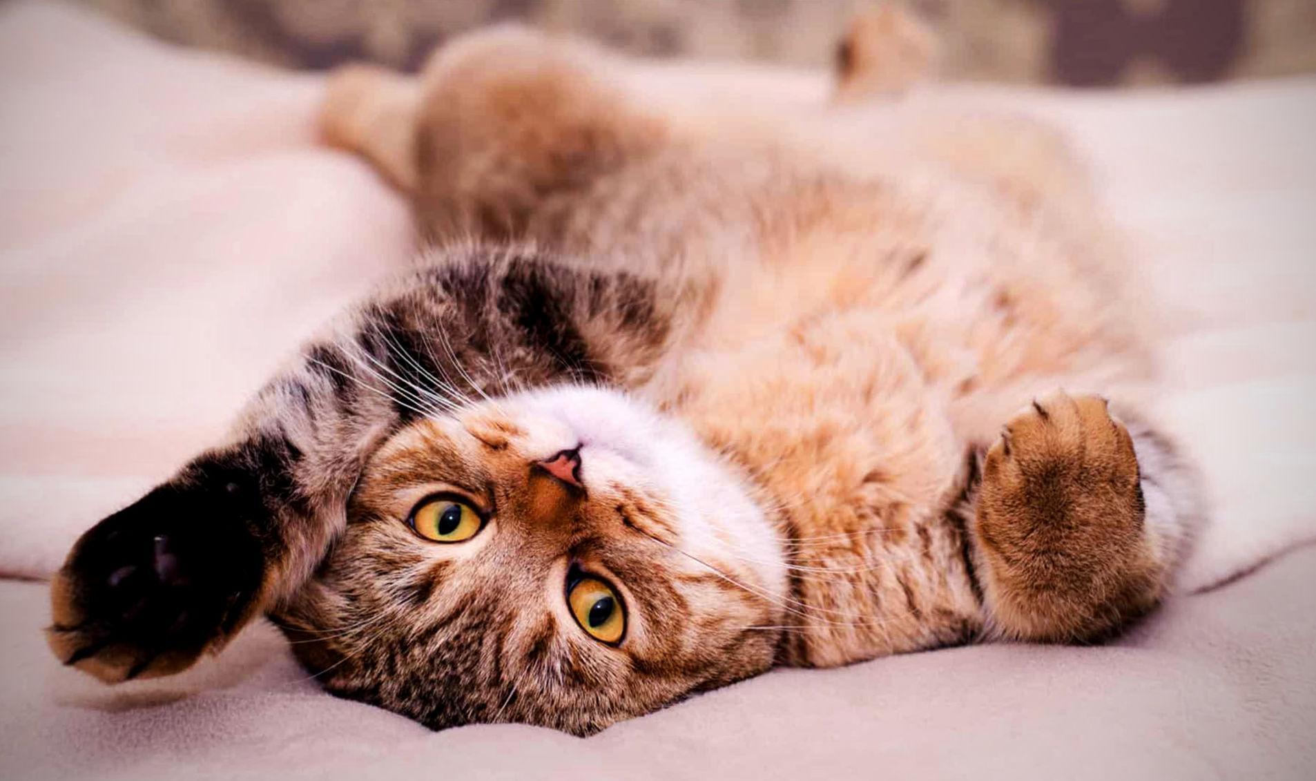 Почему кошки кувыркаются при виде хозяина?