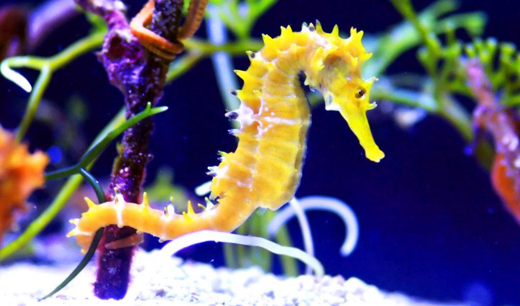 Морской конек ухватился хвостом за растение