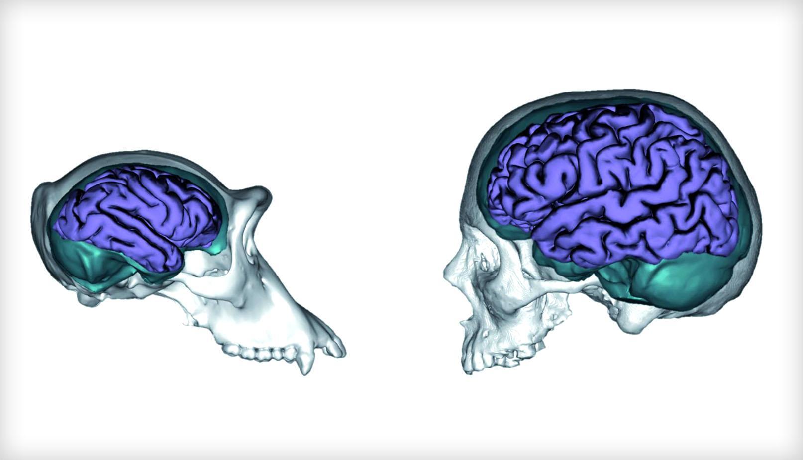 Установлена причина неодинаковой массы мозга у человека и обезьян