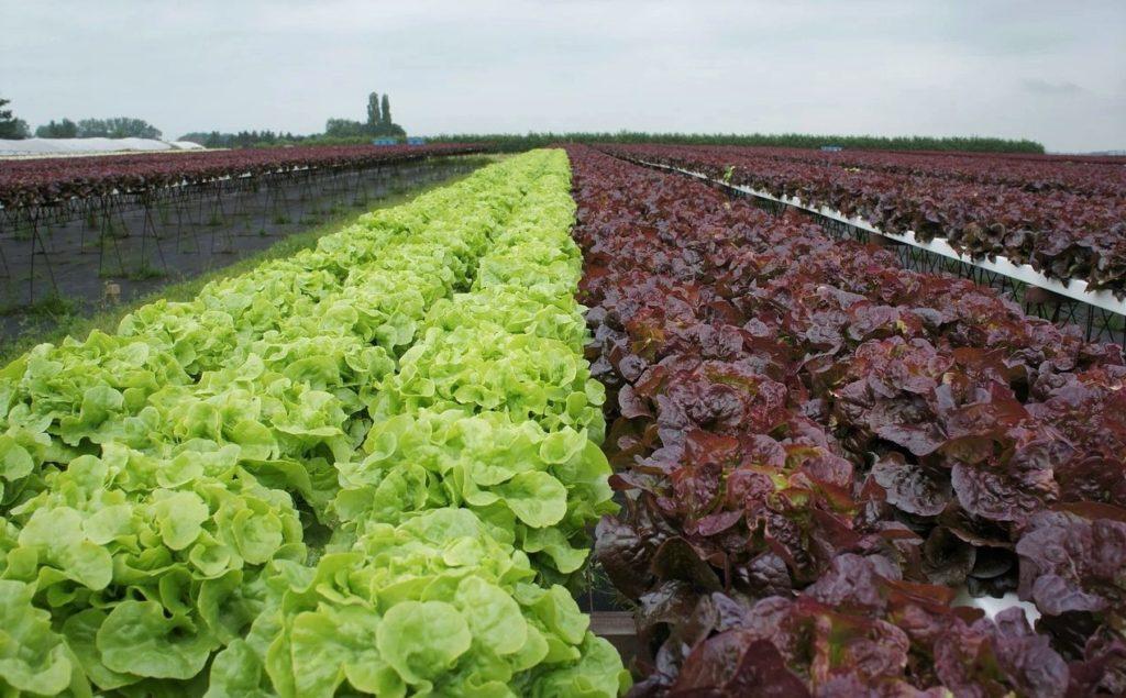 Плантация по выращиванию салата