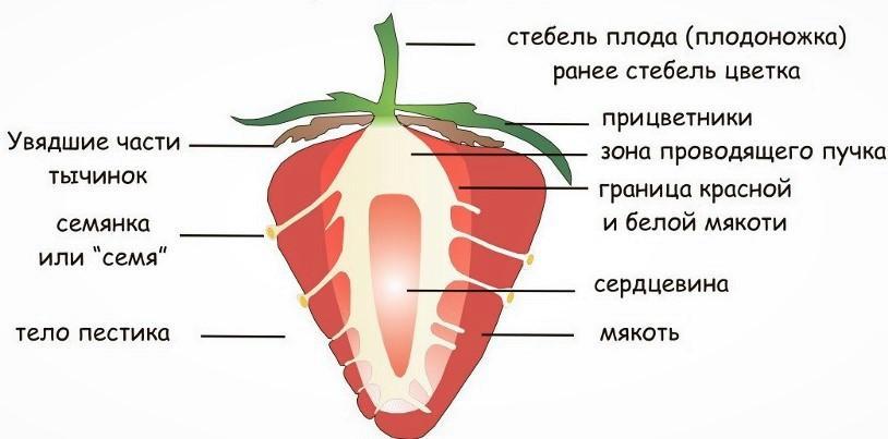 Строение ягоды на примере земляники