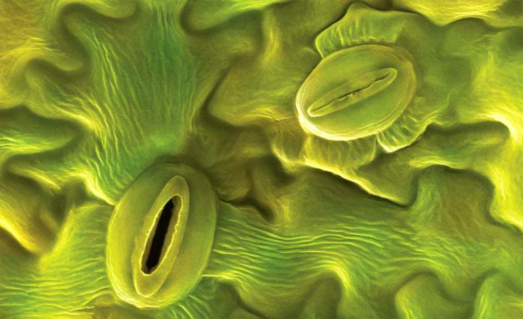 Устьица листа растения под микроскопом