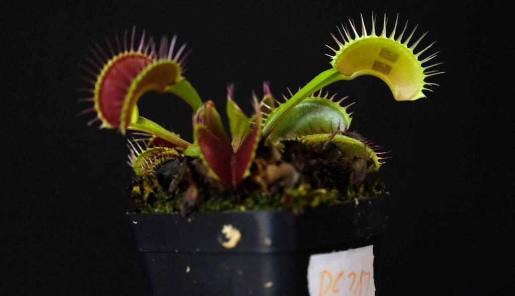 Устройство связи с растениями прикреплено к поверхности мухоловки
