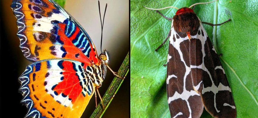 Чем отличается мотылек от бабочки?