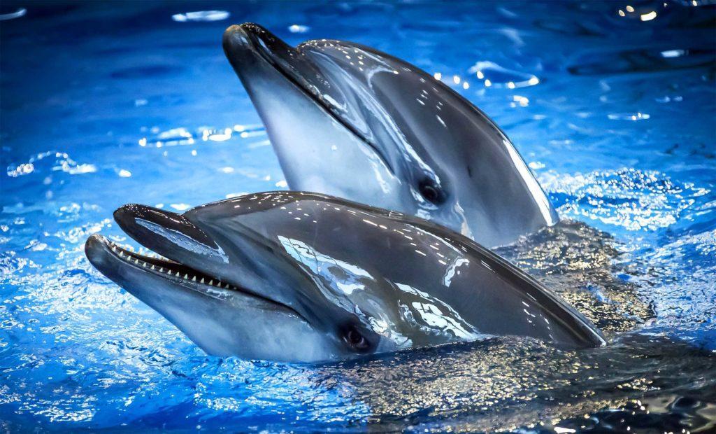 У дельфинов-афалин масса мозга составляет 1,5-1,7 кг. Это немного больше, чем у людей (1,3-1,4 кг)