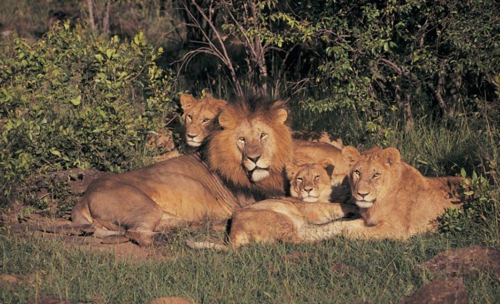 Фото львиного прайда