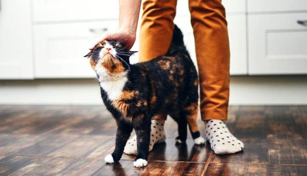 Кошка демонстрирует привязанность и тогда, когда трется о ноги хозяина