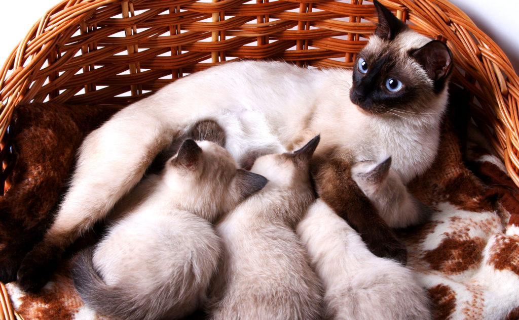 С самого рождения котятам свойственна привычка активно, но мягко двигать передними лапами во время кормления