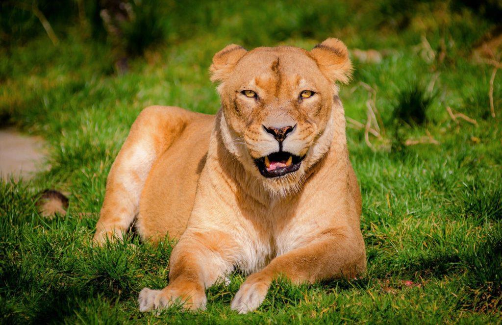Львиц легко отличить от самцов, поскольку у них отсутствует грива