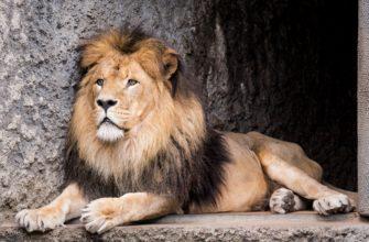 Почему у львов есть грива, а у других кошачьих нет?