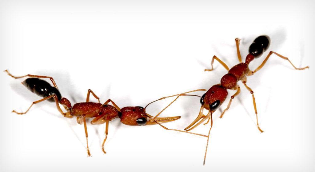 Пара рабочих муравьев Harpegnathos saltator