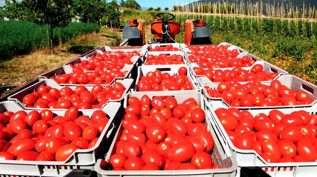 Крупнейшим производителем томатов в мире является Китай. Он производит более 30 % всех томатов в мире (56,3 из 177 миллионов тонн)