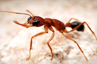 Обнаружено, что некоторые виды муравьев могут управлять размером мозга