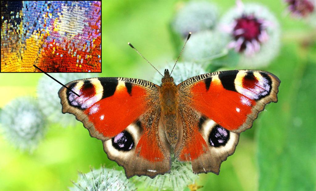 Чешуйки крыла бабочки павлиний глаз под микроскопом