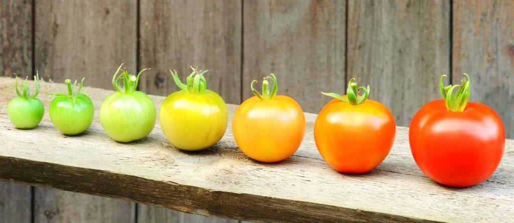 Стадии созревания помидоров