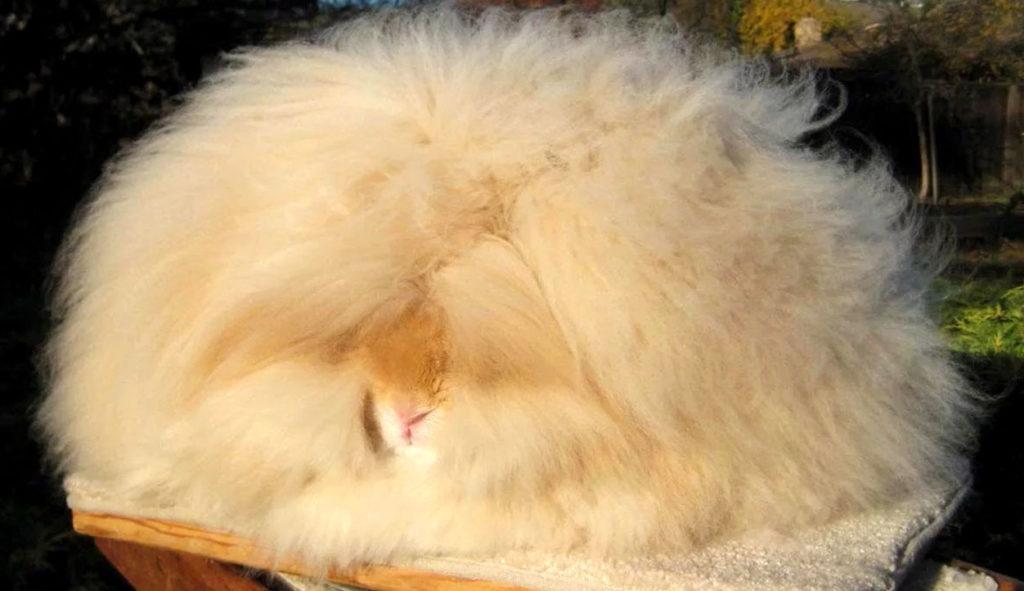 Ангорский кролик перед стрижкой