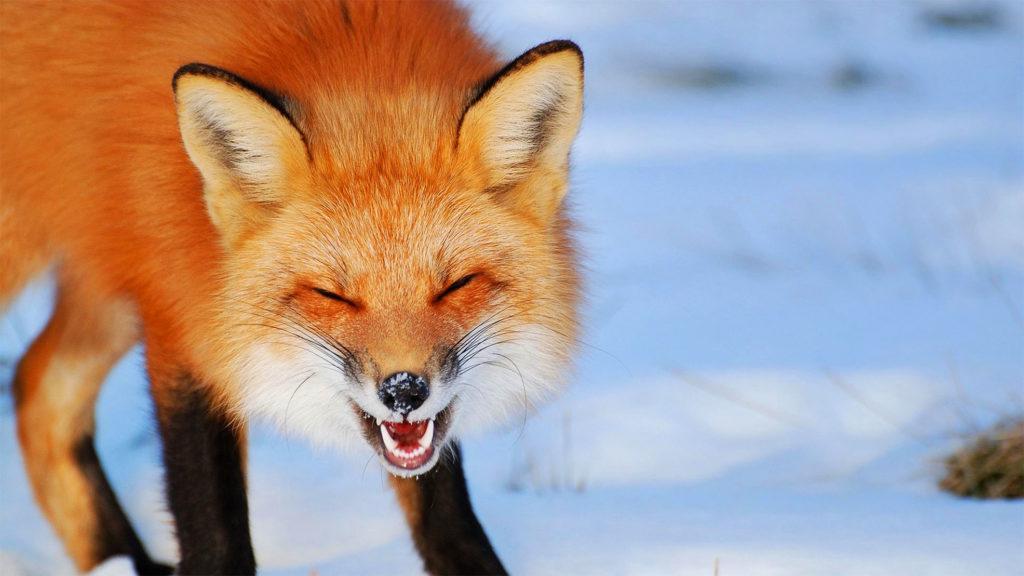Смех лисы представляет собой сочетание звонких звуков