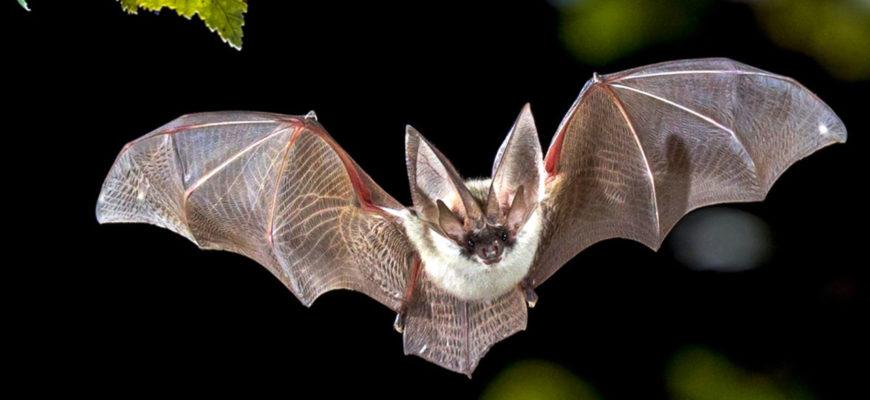 Летучие мыши обладают врожденным чувством скорости звука – исследование