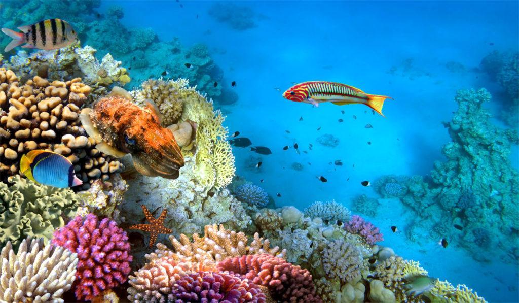 Эйлатские рифы, где обитают асцидии, маскируясь среди кораллов