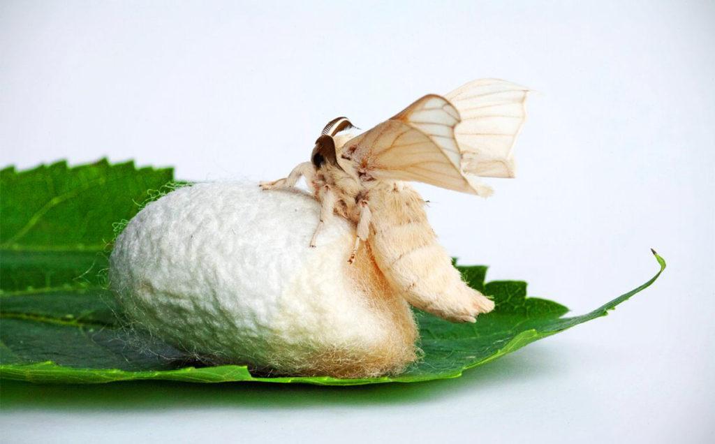 Бабочка и кокон тутового шелкопряда