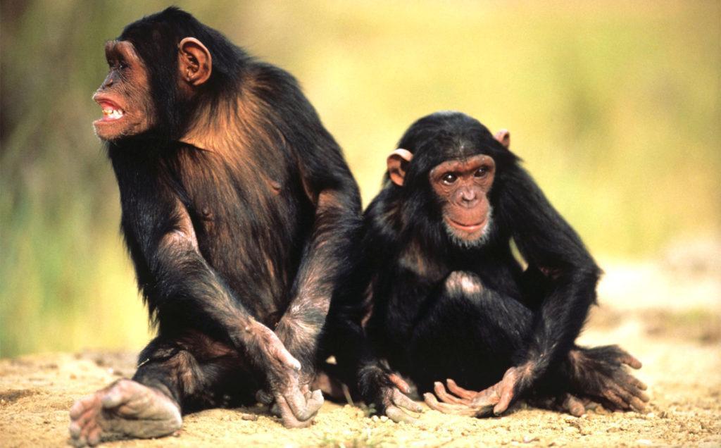 Приматы, как и люди, смеются по эмоциональным причинам