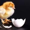 Как дышит цыпленок внутри яйца?