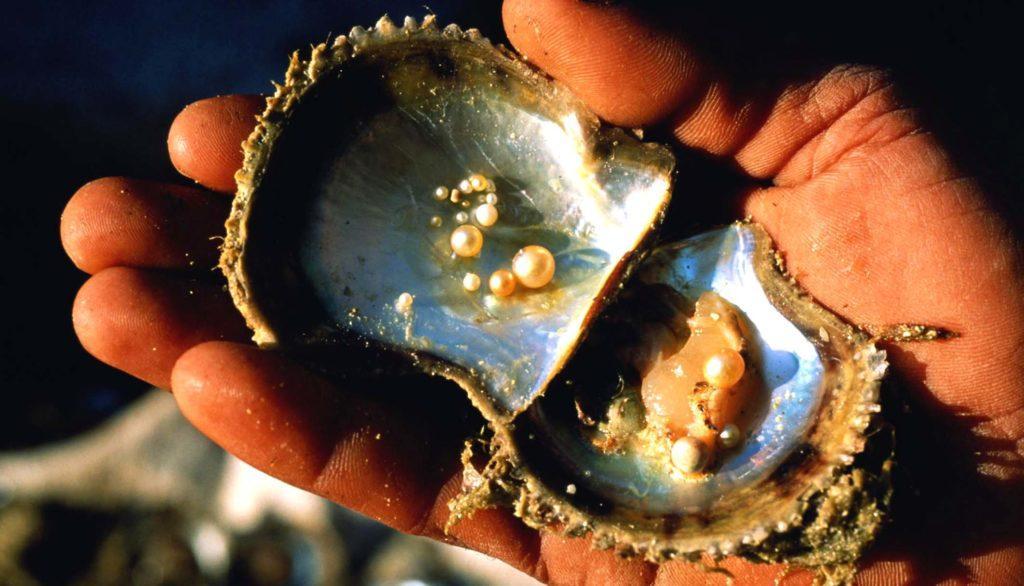 Моллюск с большим количеством жемчуга
