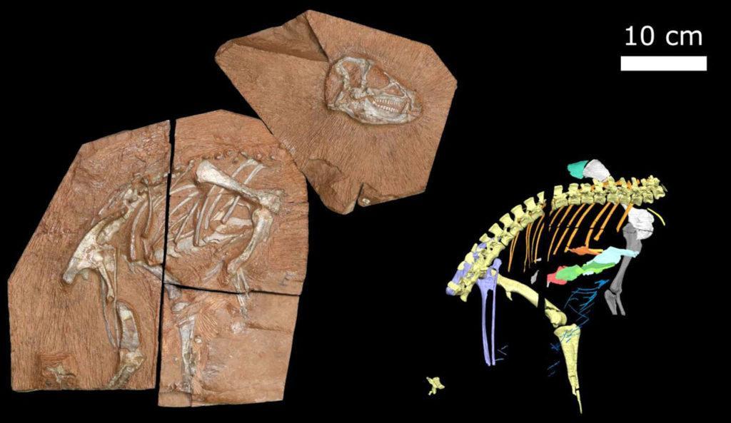 Анатомия динозавра после цифровой реконструкции справа благодаря сканированию ESRF