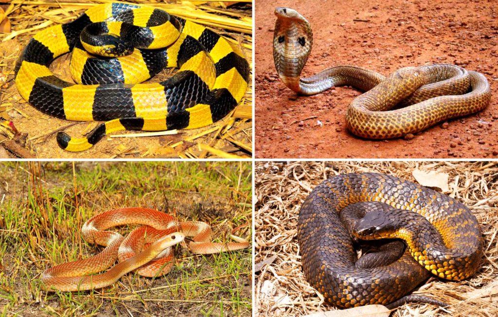 Ленточный крайт, индийская кобра, тайпан, тигровая змея