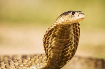 Какая ядовитая змея самая большая?