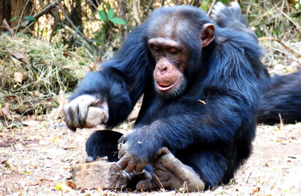Интеллект шимпанзе изучен лучше всего среди животных. Они способны изготавливать различные орудия труда для охоты, переработки продуктов и прочих целей