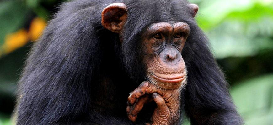 Если создать для шимпанзе все условия, смогут ли они эволюционировать в новый вид людей?