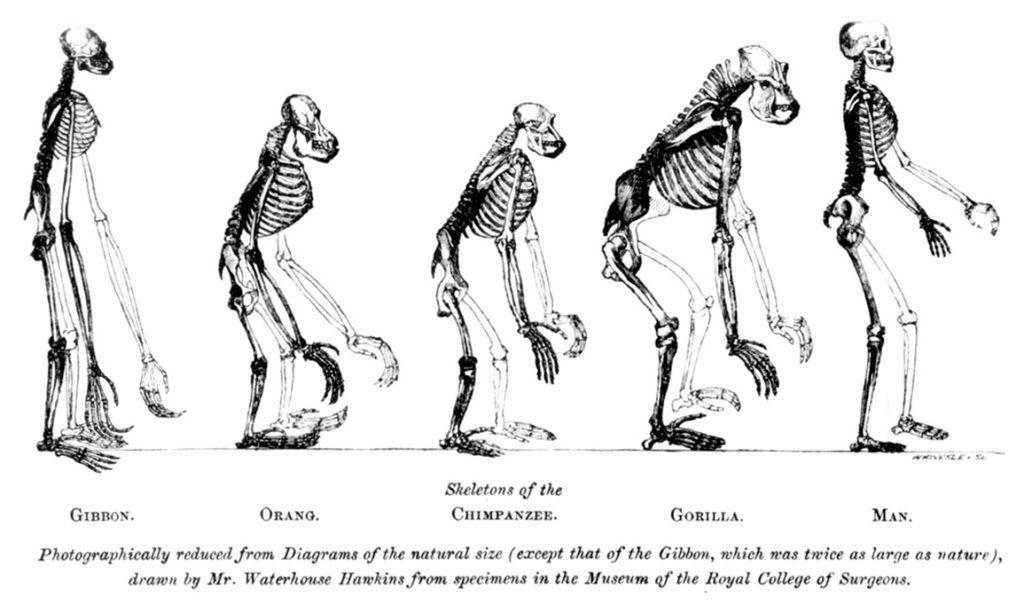 Изображение зоолога Томаса Гексли, на котором сопоставляются скелеты обезьян и человека
