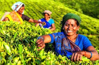 Когда стали выращивать чай в Индии?