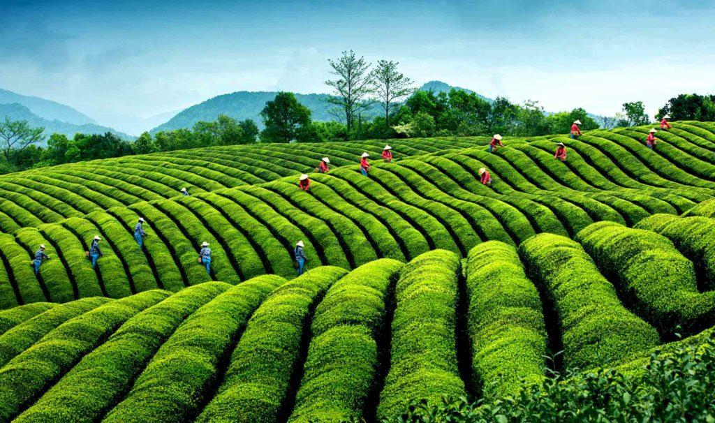 Китайские плантации чая
