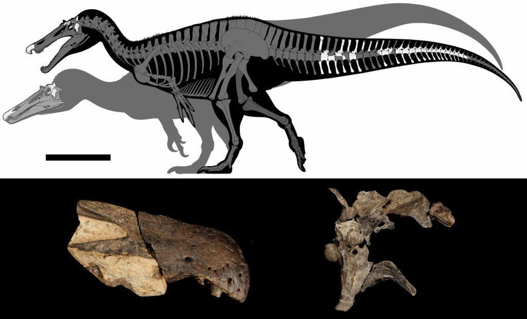 Силуэт Ceratosuchops inferodios на переднем плане, Riparovenator milnerae - на заднем. Изображения костей