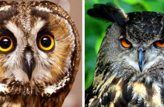 Чем отличается сова от филина?