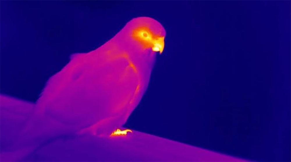 Тепловое изображение попугая