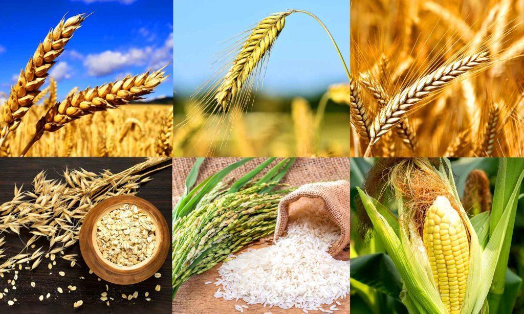 Злаки (слева направо): пшеница, ячмень, рожь, овес, рис, кукуруза