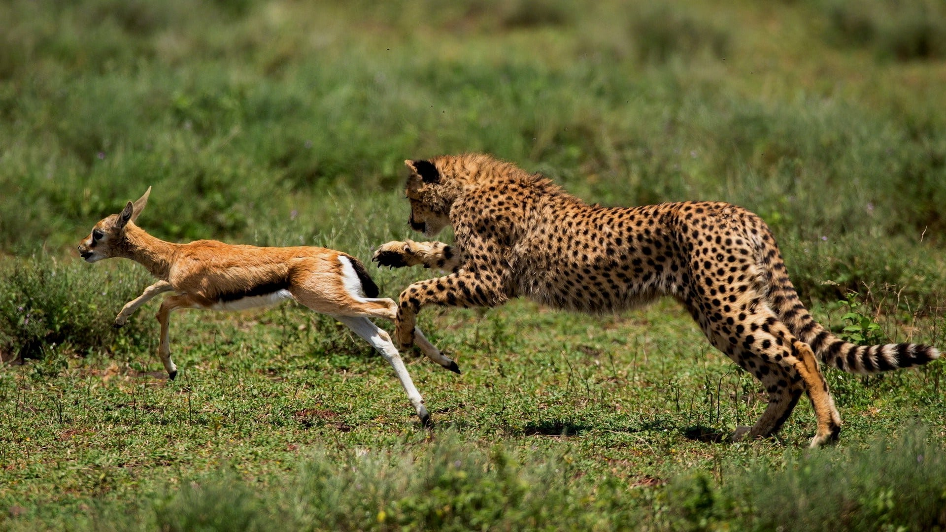 Гепард догоняет добычу