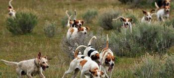 Собаки охотятся стаей