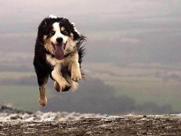 Собака высовывает язык во время пробежки