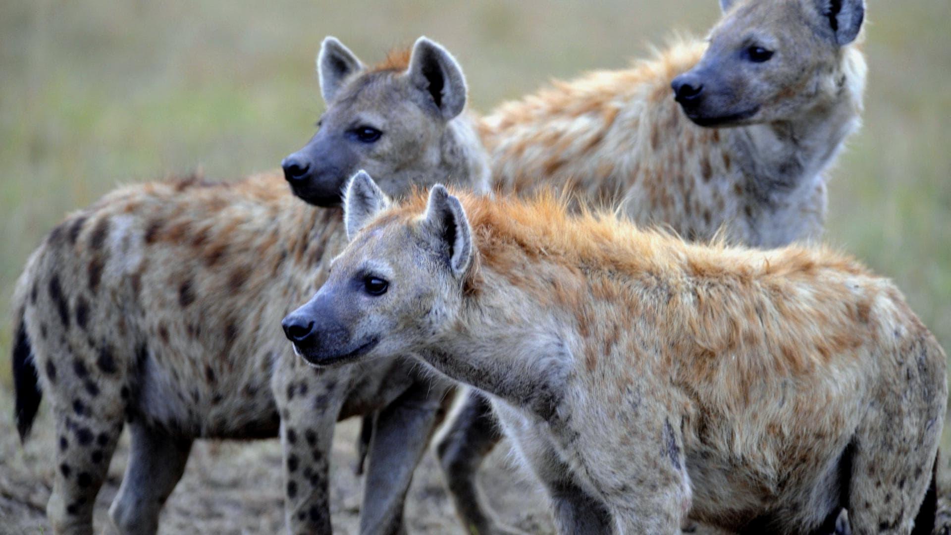 Гиены - главные враги гепардов