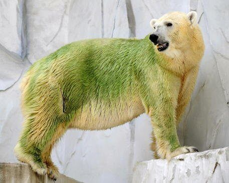 В тёплом климате полярные медведи принимают зеленый цвет, поскольку водоросли колонизируют внутреннюю среду их шерсти