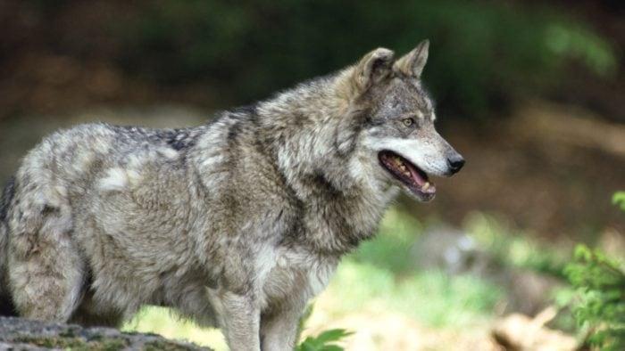 Волк - один из главных врагов лисы
