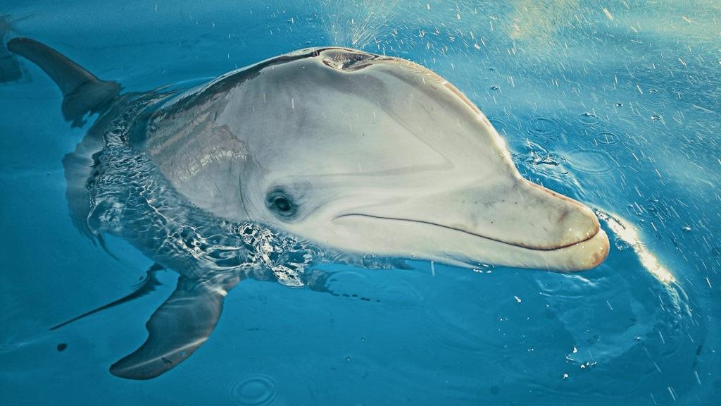 Дыхло дельфина, расположенное на затылке