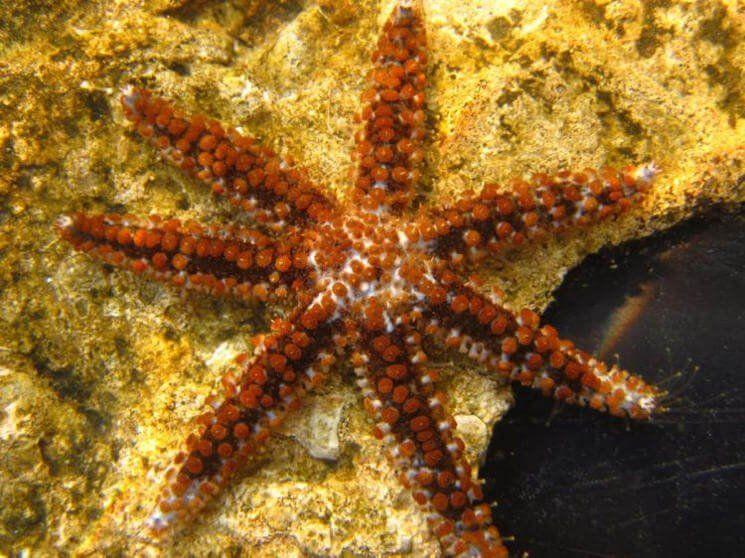 Малая колючая звезда (Coscinasterias tenuispina)