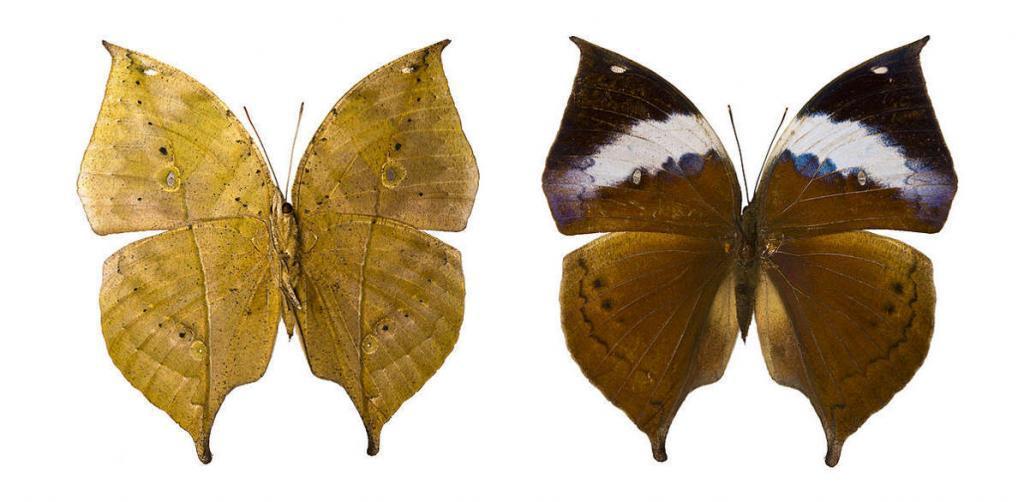 Бабочка Каллима (Kallima)